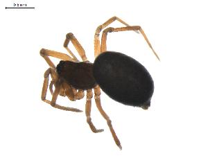 (Diplocephalus mirabilis - BIOUG01894-B09)  @13 [ ] Copyright  G. Blagoev 2011 Unspecified
