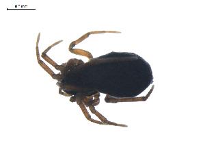 (Diplocephalus barbiger - BIOUG01971-F05)  @12 [ ] Copyright  G. Blagoev 2012 Unspecified