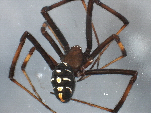 (Latrodectus variolus - BIOUG12605-A01)  @13 [ ] CreativeCommons - Attribution Non-Commercial Share-Alike (2014) CBG Photography Group Centre for Biodiversity Genomics