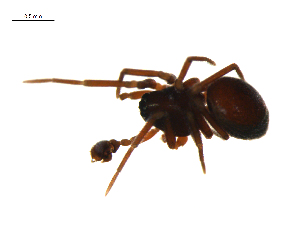 (Ceraticelus laetabilis - CCDB-21418-D11)  @14 [ ] CreativeCommons - Attribution Non-Commercial Share-Alike (2014) G. Blagoev Centre for Biodiversity Genomics