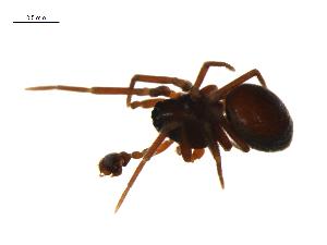 (Ceraticelus laetabilis - CCDB-21418-D11)  @14 [ ] CreativeCommons - Attribution Non-Commercial Share-Alike (2014) G. Blagoev Biodiversity Institute of Ontario