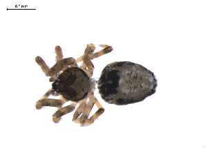 (Mysmenidae - BIOUG01972-A02)  @12 [ ] Copyright  G. Blagoev 2012 Unspecified