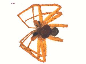 (Philodromus dispar - 10-SKBC-0643)  @13 [ ] CreativeCommons - Attribution Non-Commercial Share-Alike (2010) Unspecified Biodiversity Institute of Ontario