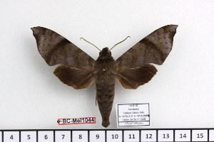 (Acosmeryx akanshi - BC-Mel 1044)  @13 [ ] Copyright (2010) Tomas Melichar Research Collection of Tomas Melichar
