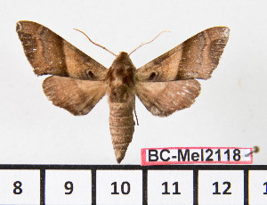 (Agnosia microta - BC-Mel2118)  @14 [ ] Copyright (2010) Tomas Melichar Research Collection of Tomas Mleichar