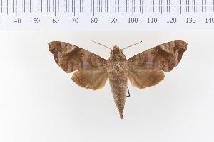 (Acosmeryx anceus - VAG-2013)  @15 [ ] Copyright (2010) Thierry Vaglia Research Collection of Thierry Vaglia