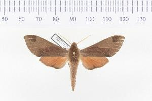 (Afroclanis calcareus - VAG-2209)  @15 [ ] Copyright (2010) Unspecified Research Collection of Thierry Vaglia