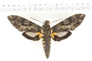(Cocytius antaeus - VAG-277)  @15 [ ] Copyright (2010) Thierry Vaglia Research Collection of Thierry Vaglia
