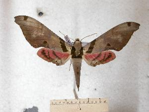 (Adhemarius jamaicensis - BC-EMEM0108)  @14 [ ] Copyright (2010) Ulf Eitschberger Research Collection of Ulf Eitschberger