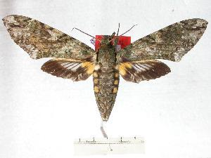 (Amphonyx kofleri - BC-EMEM0904)  @14 [ ] Copyright (2010) Ulf Eitschberger Research Collection of Ulf Eitschberger