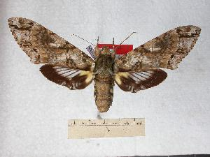 (Amphonyx jamaicensis - BC-EMEM0906)  @14 [ ] Copyright (2010) Ulf Eitschberger Research Collection of Ulf Eitschberger
