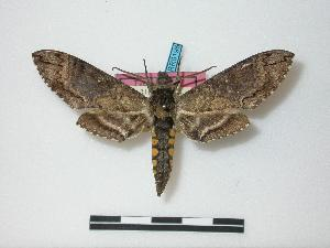 (Manduca lucetius exiguus - BC-ZSMRR0196)  @11 [ ] Copyright (2010) Unspecified Zoological State Collection, Munich