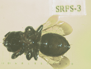 (Osmia nemoris - SRFS-3)  @14 [ ] Unspecified (default): All Rights Reserved  Unspecified Unspecified