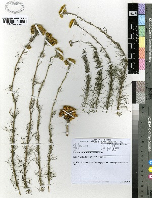 (Phymaspermum - Young1441)  @11 [ ] No Rights Reserved (2012) Anthony Magee South African National Biodiversity Institute