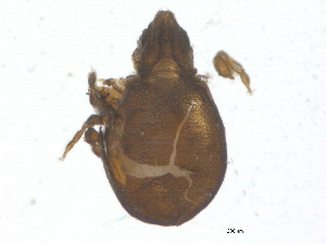 (Cymbaeremaeidae - BIOUG03650-G08)  @13 [ ] CreativeCommons - Attribution Non-Commercial Share-Alike (2013) BIO Photography Group Biodiversity Institute of Ontario
