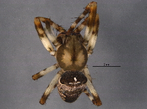 (Araneus washingtoni - BIOUG06154-D02)  @14 [ ] CreativeCommons - Attribution Non-Commercial Share-Alike (2014) CBG Photography Group Centre for Biodiversity Genomics