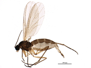 (Ctenosciara - BIOUG13237-B05)  @15 [ ] CreativeCommons - Attribution Non-Commercial Share-Alike (2015) BIO Photography Group Biodiversity Institute of Ontario