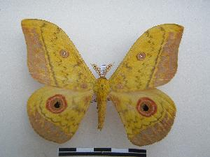 (Saturniinae - PD-BC-1611)  @16 [ ] Copyright (2010) Unspecified Research Collection of Philippe Darge