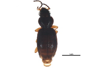 (Bembidion muscicola - BIOUG13543-H04)  @14 [ ] CreativeCommons - Attribution Non-Commercial Share-Alike (2015) CBG Photography Group Centre for Biodiversity Genomics