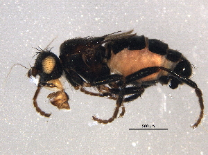 (Sphaeroceridae - BIOUG06122-E05)  @15 [ ] CreativeCommons - Attribution Non-Commercial Share-Alike (2014) BIO Photography Group Biodiversity Institute of Ontario