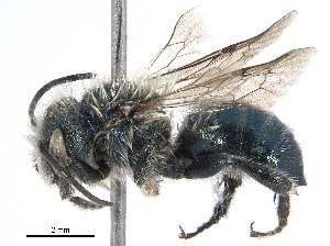 (Osmia inspergens - BIOUG20558-E09)  @15 [ ] CreativeCommons - Attribution Non-Commercial Share-Alike (2016) CBG Photography Group Centre for Biodiversity Genomics