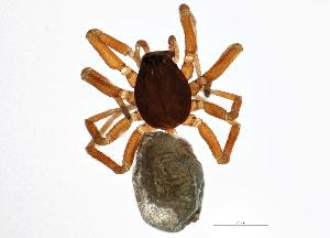 (Walckenaeria - BIOUG05745-F04)  @15 [ ] CreativeCommons - Attribution Non-Commercial Share-Alike (2014) BIO Photography Group Biodiversity Institute of Ontario