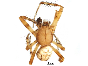 (Araneus iviei - BIOUG05860-E03)  @15 [ ] CreativeCommons - Attribution Non-Commercial Share-Alike (2016) CBG Photography Group Centre for Biodiversity Genomics