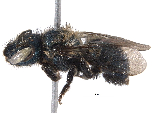 (Osmia pusilla - BIOUG04656-E03)  @15 [ ] CreativeCommons - Attribution Non-Commercial Share-Alike (2016) CBG Photography Group Centre for Biodiversity Genomics
