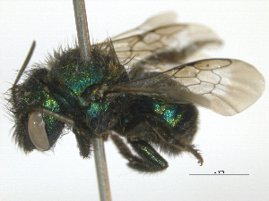 (Osmia torchioi - BIOUG04934-C10)  @14 [ ] CreativeCommons - Attribution Non-Commercial Share-Alike (2014) BIO Photography Group Biodiversity Institute of Ontario