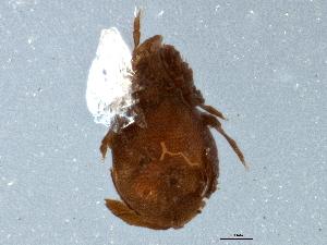 (Cymbaeremaeidae - BIOUG05426-C11)  @13 [ ] CreativeCommons - Attribution Non-Commercial Share-Alike (2014) CBG Photography Group Centre for Biodiversity Genomics