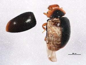 (Scymnus paracanus - BIOUG06452-H02)  @12 [ ] CreativeCommons - Attribution Non-Commercial Share-Alike (2014) CBG Photography Group Centre for Biodiversity Genomics