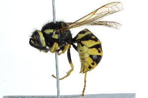 (Vespula - BIOUG08963-C07)  @15 [ ] CreativeCommons - Attribution Non-Commercial Share-Alike (2016) BIO Photography Group Biodiversity Institute of Ontario