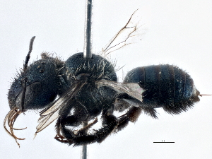 (Osmia pulsatillae - BIOUG08079-F12)  @14 [ ] CreativeCommons - Attribution Non-Commercial Share-Alike (2014) BIO Photography Group Biodiversity Institute of Ontario