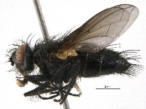 (Phyllomya - BIOUG09656-C05)  @15 [ ] CreativeCommons - Attribution Non-Commercial Share-Alike (2014) BIO Photography Group Biodiversity Institute of Ontario
