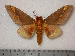 (Citheronia aroa - BC-Dec0273)  @16 [ ] Copyright (2010) Unspecified Research Collection of Thibaud Decaens