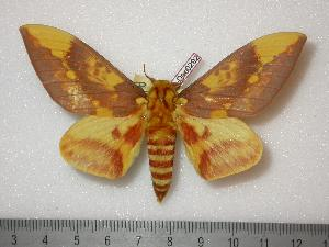 (Citheronia lobesis - BC-Dec0292)  @15 [ ] Copyright (2010) Thibaud Decaens Research Collection of Thibaud Decaens