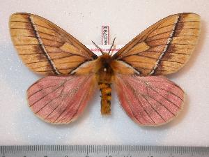 (Pseudodirphia - BC-Dec0790)  @16 [ ] Copyright (2010) Thibaud Decaens Research Collection of Thibaud Decaens