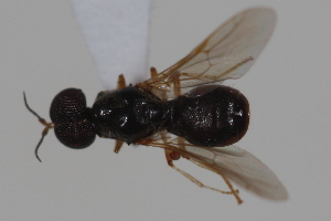 (Pachygastrinae - cau02001)  @15 [ ] CreativeCommons - Attribution Non-Commercial Share-Alike (2010) China Agricultural University, Insect Collection China Agricultural University, Insect Collection