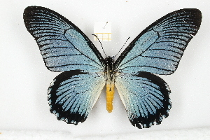 (Papilio zalmoxis - CTBB-1944)  @11 [ ] Copyright © (2014) Unspecified collection Th. Bouyer