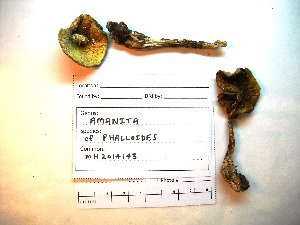 (Amanita phalloides - MH2014143)  @11 [ ] CreativeCommons - Attribution Non-Commercial (2015) TonyTrofymow Natural Resources Canada