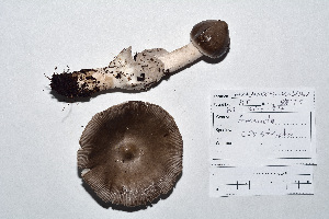 (Amanita constricta - KT2014214)  @11 [ ] CreativeCommons - Attribution Non-Commercial (2014) James Holkko Natural Resources Canada