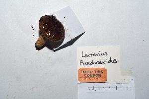 (Lactarius pseudomucidus - KT2014136)  @11 [ ] CreativeCommons - Attribution Non-Commercial (2014) James Holkko Natural Resources Canada