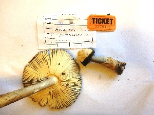 (Amanita pachycolea - HW2015162)  @11 [ ] CreativeCommons - Attribution Non-Commercial (2015) TonyTrofymow Natural Resources Canada