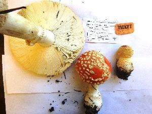 (Amanita muscaria - SF2015170)  @11 [ ] CreativeCommons - Attribution Non-Commercial (2015) TonyTrofymow Natural Resources Canada
