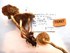 (Pholiota terrestris - AM2015174)  @11 [ ] by-nc (2015) TonyTrofymow Natural Resources Canada