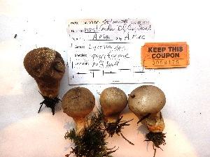 (Lycoperdon - AM2015175)  @11 [ ] by-nc (2015) TonyTrofymow Natural Resources Canada