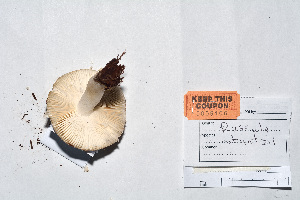 (Russula stuntzii - KT2014106)  @11 [ ] by-nc (2014) James Holkko Natural Resources Canada