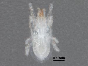 (Leptolaelapidae - BIOUG24683-C08)  @14 [ ] CreativeCommons - Attribution Non-Commercial Share-Alike (2016) CBG Photography Group Centre for Biodiversity Genomics