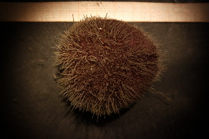 (Spatangus raschi - Echin 5942V)  @11 [ ] CC-by-nc-sa (2014) Göteborg Natural History Museum Göteborg Natural History Museum