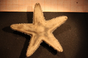 (Astropecten irregularis - Echin 6224V)  @11 [ ] CreativeCommons - Attribution Non-Commercial Share-Alike (2014) Göteborg Natural History Museum Göteborg Natural History Museum